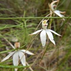 Caladenia moschata (Musky caps) at Black Mountain - 13 Nov 2016 by MichaelMulvaney