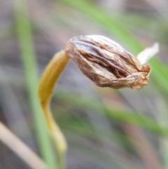 Glossodia major (Wax lip orchid) at Black Mountain - 7 Nov 2016 by Ryl