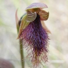 Calochilus platychilus (Purple beard orchid) at Black Mountain - 7 Nov 2016 by Ryl