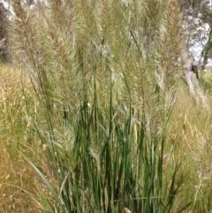 Austrostipa densiflora (Foxtail Speargrass) at Stirling Park - 13 Nov 2016 by Ratcliffe
