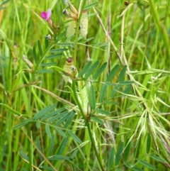 Vicia sativa subsp. nigra (Narrow-leaved Vetch) at Stirling Park - 13 Nov 2016 by Ratcliffe