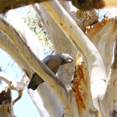 Callocephalon fimbriatum (Gang-gang Cockatoo) at Stirling Park - 14 Nov 2016 by Ratcliffe