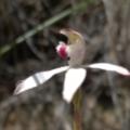 Caladenia moschata at Black Mountain - 31 Oct 2016