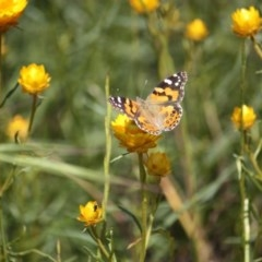 Vanessa kershawi (Australian Painted Lady) at Stirling Park - 14 Nov 2016 by Ratcliffe