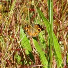 Junonia villida (Meadow Argus) at Stirling Park - 14 Nov 2016 by Ratcliffe