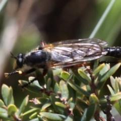 Neoscleropogon sp. (genus) (Robber fly) at Namadgi National Park - 17 Jan 2016 by HarveyPerkins