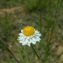 Leucochrysum albicans subsp. tricolor (Hoary Sunray) at Tuggeranong DC, ACT - 16 Nov 2016 by RichardMilner