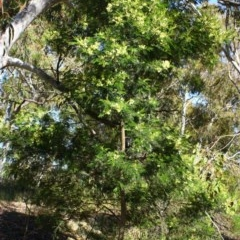 Acacia mearnsii (Black Wattle) at Stirling Park - 15 Nov 2016 by Ratcliffe