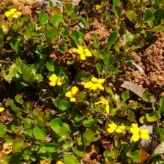 Goodenia hederacea subsp. hederacea (Ivy Goodenia, Forest Goodenia) at Cotter River, ACT - 16 Nov 2016 by KimPullen