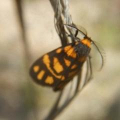 Asura lydia (Lydia Lichen Moth) at Black Mountain - 17 Nov 2016 by MichaelMulvaney