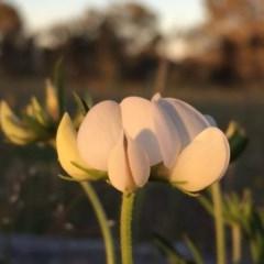 Lotus australis (Austral trefoil) at Wandiyali-Environa Conservation Area - 18 Nov 2016 by Wandiyali