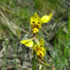 Diuris sulphurea (Tiger orchid) at Black Mountain - 18 Nov 2016 by nic.jario