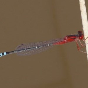 Xanthagrion erythroneurum at Duffy, ACT - 26 Mar 2016