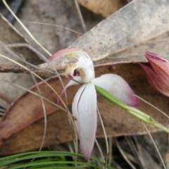 Caladenia moschata (Musky caps) at Black Mountain - 7 Nov 2016 by Ryl