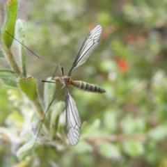 Geranomyia sp. (genus) cnm2 (A limoniid crane fly) at Black Mountain - 7 Nov 2016 by Ryl