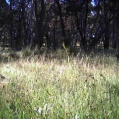 Gymnorhina tibicen (Australian Magpie) at Mulligans Flat - 23 Nov 2016 by MulligansFlat1