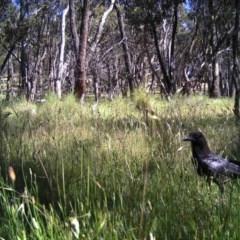 Corvus coronoides (Australian Raven) at Mulligans Flat - 23 Nov 2016 by MulligansFlat1