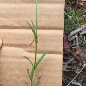 Wahlenbergia stricta subsp. stricta at Bungendore, NSW - 27 Nov 2016