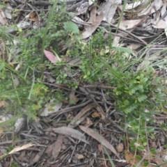 Bossiaea buxifolia (Bush Pea) at Mount Ainslie - 26 Nov 2016 by SilkeSma