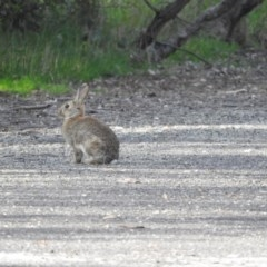 Oryctolagus cuniculus (European Rabbit) at Gilmore, ACT - 6 Oct 2016 by RyuCallaway