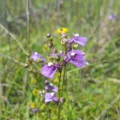 Utricularia dichotoma (Fairy Aprons, Purple Bladderwort) at Kama - 25 Nov 2016 by RichardMilner