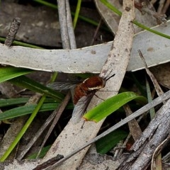BOMBYLIINAE (Unidentified bombyliine bee fly) at Yadboro State Forest - 26 Nov 2016 by MaxCampbell