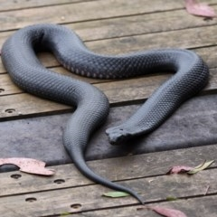 Pseudechis porphyriacus (Red-bellied Black Snake) at Tidbinbilla Nature Reserve - 21 Jan 2012 by HarveyPerkins