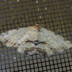 Sandava scitisignata (A noctuid moth) at Conder, ACT - 29 Nov 2016 by michaelb