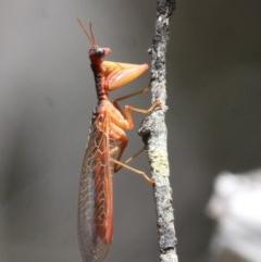 Mantispidae (family) (Unidentified mantisfly) at Namadgi National Park - 17 Jan 2016 by HarveyPerkins