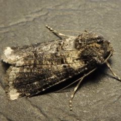 Agrotis porphyricollis (Variable Cutworm) at Conder, ACT - 27 Nov 2016 by michaelb