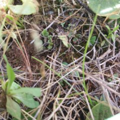 Cheilanthes distans (Bristly cloak fern) at Mulanggari Grasslands - 30 Nov 2016 by RichardMilner