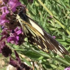 Belenois java at Wandiyali-Environa Conservation Area - 1 Dec 2016