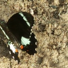Papilio aegeus (Orchard Swallowtail) at Isaacs Ridge and Nearby - 29 Nov 2016 by Mike