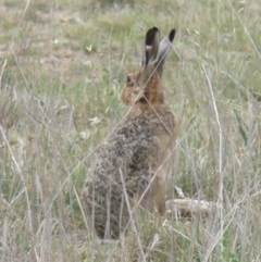 Lepus capensis (Brown Hare) at Jerrabomberra Wetlands - 31 Oct 2008 by HarveyPerkins