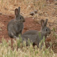 Oryctolagus cuniculus (European Rabbit) at Jerrabomberra Wetlands - 31 Oct 2008 by HarveyPerkins