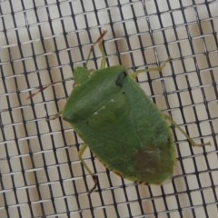 Nezara viridula (Green vegetable bug) at Conder, ACT - 18 Nov 2016 by michaelb