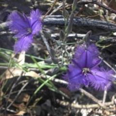 Thysanotus tuberosus subsp. tuberosus (Common Fringe-lily) at Mount Ainslie - 3 Dec 2016 by SilkeSma