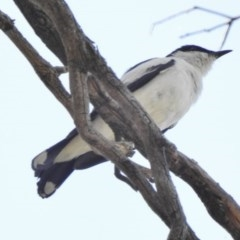 Lalage tricolor (White-winged Triller) at Namadgi National Park - 3 Dec 2016 by JohnBundock