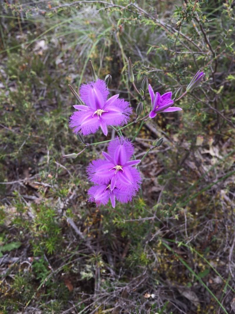 Thysanotus tuberosus subsp. tuberosus at Bungendore, NSW - 4 Dec 2016