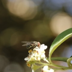 Muscidae sp. (family) (Unidentified muscid fly) at O'Connor, ACT - 3 Dec 2016 by ibaird