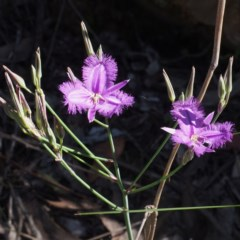 Thysanotus tuberosus subsp. tuberosus (Common Fringe-lily) at Black Mountain - 3 Dec 2016 by David