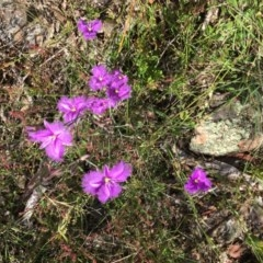 Thysanotus tuberosus subsp. tuberosus (Common Fringe-lily) at The Pinnacle - 29 Nov 2016 by StephenBruce
