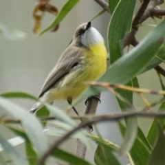Gerygone olivacea (White-throated Gerygone) at Tidbinbilla Nature Reserve - 23 Oct 2016 by roymcd