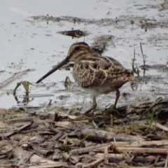 Gallinago hardwickii (Latham's Snipe) at Jerrabomberra Wetlands - 4 Dec 2016 by roymcd