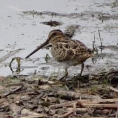 Gallinago hardwickii (Latham's Snipe) at Jerrabomberra Wetlands - 4 Dec 2016 by roymcd
