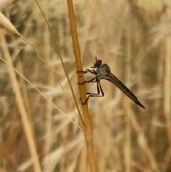 Cerdistus sp. (genus) (Robber fly) at The Pinnacle - 7 Dec 2016 by annamacdonald