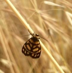 Asura lydia (Lydia Lichen Moth) at The Pinnacle - 7 Dec 2016 by annamacdonald