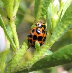 Harmonia conformis (Common Spotted Ladybird) at Conder, ACT - 17 Sep 2016 by michaelb