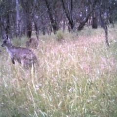 Macropus giganteus (Eastern Grey Kangaroo) at Mulligans Flat - 7 Dec 2016 by MulligansFlat1