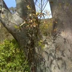 Muellerina eucalyptoides (Creeping Mistletoe) at Mount Mugga Mugga - 4 Dec 2016 by Mike